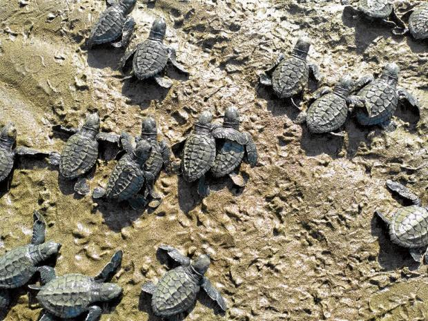 1K baby turtles to be returned to Tayabas Bay