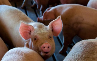 DA to allot P400-M for hog repopulation in ASF-cleared areas