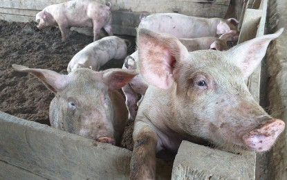 Swine fever plagues 19 towns, cities in E. Visayas