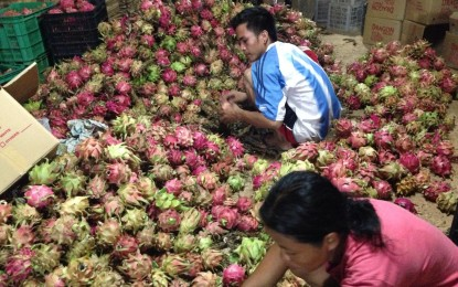 Dragon fruit growing expands in PH