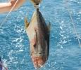 God tonfisk