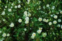 Cistus salvifolius - Salvia Cistus - Sage Leaf Rockrose - Gallipoli Rose - Laden - Gelibolu Gülü - Adaçayı Yapraklı Laden - Beyaz Pamukluk - Pamukla - Adaçayı Yapraklı Karağan - Tavşanak
