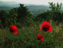 Poppies at the Valley - subplant of the Papaveroideae family