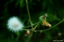 Taraxacum officinale - Dandelion - Karahindiba - Siğilotu