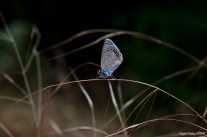 Polyommatus icarus - The Common Blue Butterfly - Çokgözlü Mavi Kelebek