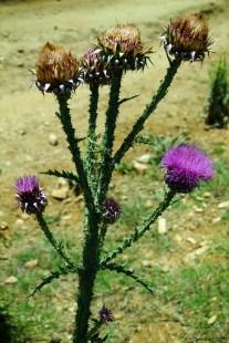 Carduus nutans L. subsp. leiophyllus - Musk thistle - Nodding thistle - Devedikeni
