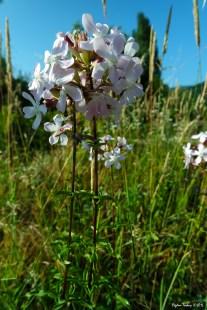Saponaria officinalis - Soapwort- Bouncing-bet - Crow Soap - Wild Sweet William - Soapweed - Çöven Otu - Sabun Otu - Çoğan Otu