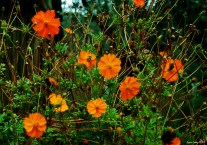Cosmos sulphureus - Orange Cosmos Flower - Turuncu Kozmos Çiçeği
