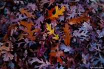 Oak trees - Fall leaves / Meşe ağacı - Sonbahar yaprakları