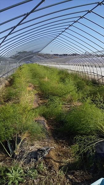 アスパラガス畑