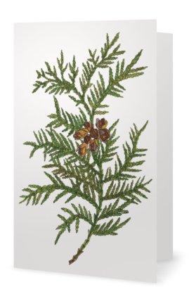 Cedar: Thuja occidentalis