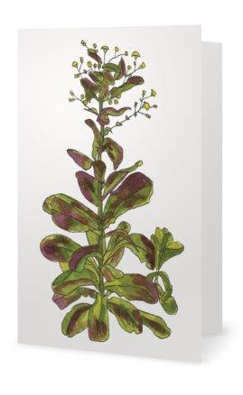 Romaine Lettuce: Lactuca sativa longifolia