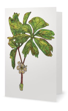Mayapple: Podophyllum peltatum