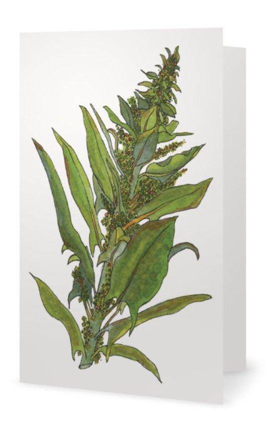 Spinach: Spinacia oleracea