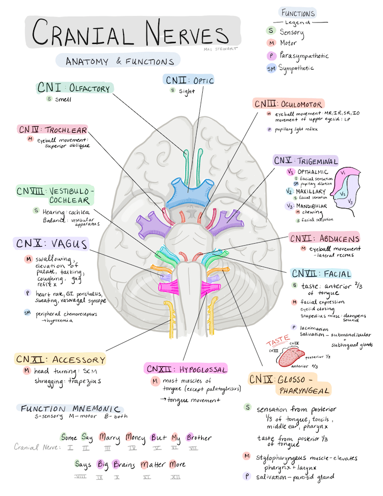 Nervous about nerves? - a review of cranial nerves ...
