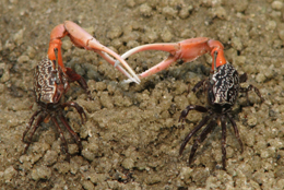 Male fiddler crabs fight