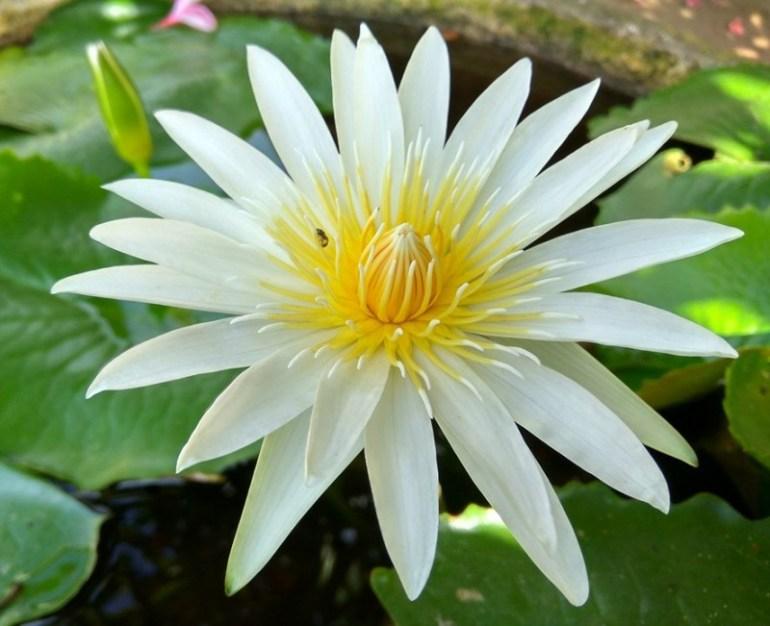 バリ島の蓮の花