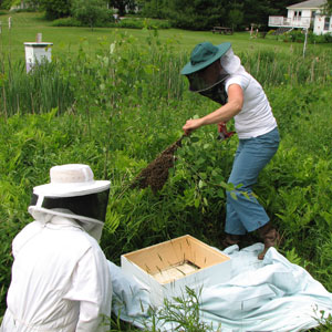 Gathering a Swarm of Honey Bees