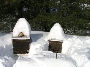 Hives in Maine Winter 2012.  Photo Carol Cottrill