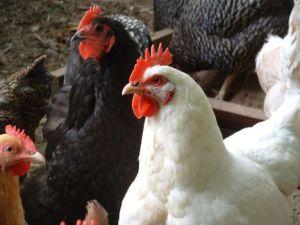 chickens-jj-001