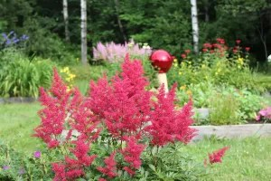 Two colors of Astilbe flanking the gazing ball
