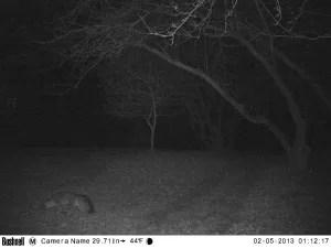 Mr Fox on a Midnight Stroll