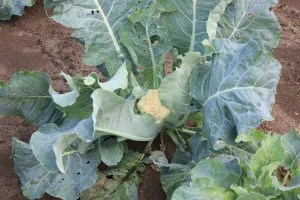 Our lone cauliflower, soon to be at the heart of a steamy and cheesy affair.