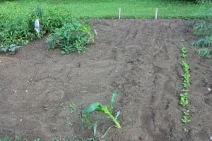 Our two lonely cornstalks and the row of turnips that replaced the ones that didn't make it.