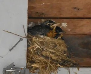 latest robins