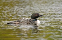 Common Loon on a Crooked Lake in the Sylvania Wilderness in Northern Michigan
