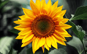Sunflower.png?fit=284%2C177&ssl=1