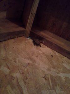 Maine Wildlife Management found a Little Brown bat during an attic inspection