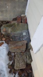 Skunk Removal Using One Way Doors in Bucksport Maine
