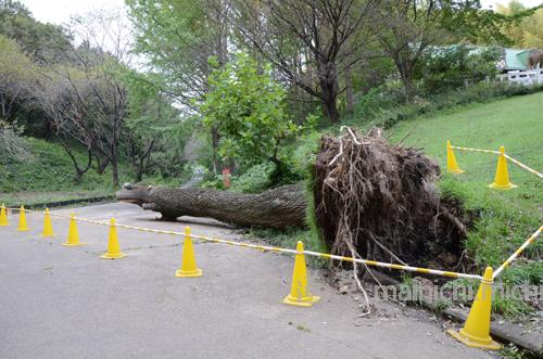 台風で巨木が倒れてた