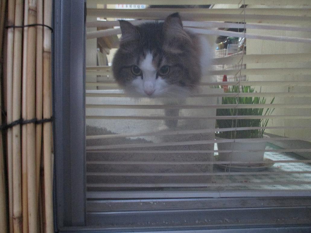 ブラインドを突き抜ける猫