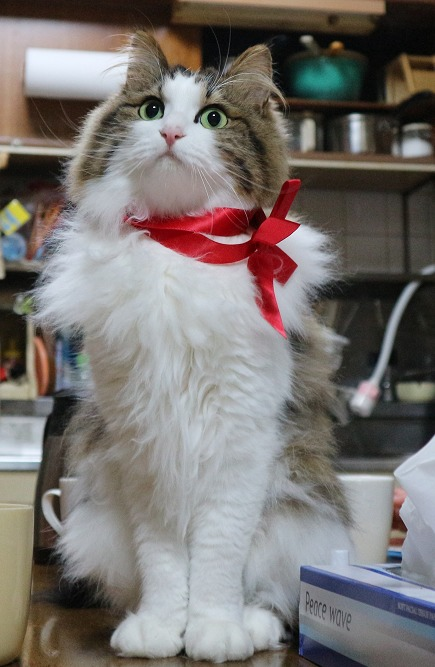 リボンを結んだ猫の画像