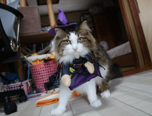 猫ハロウインコスプレ