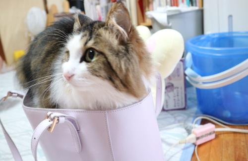 バッグに入る猫
