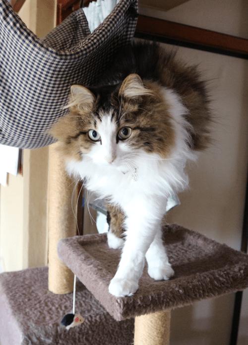 ハチワレ。キジ白の猫