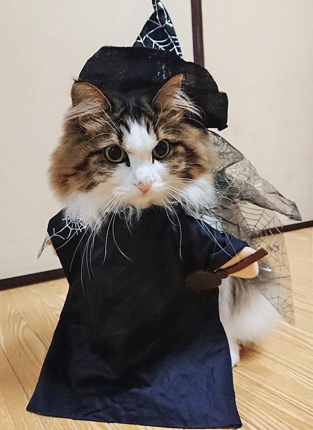 ハロウィンコスプレをする猫の画像
