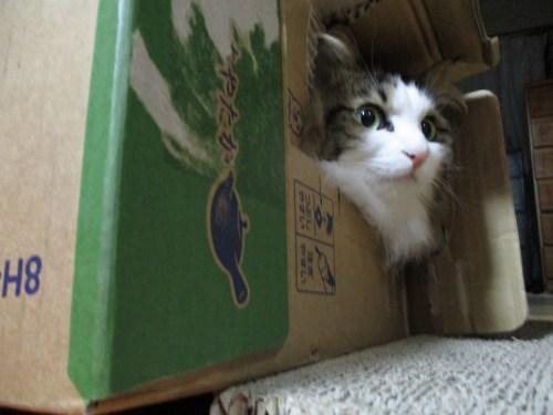 箱に入る猫の画像