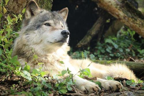 犬の祖先、オオカミ