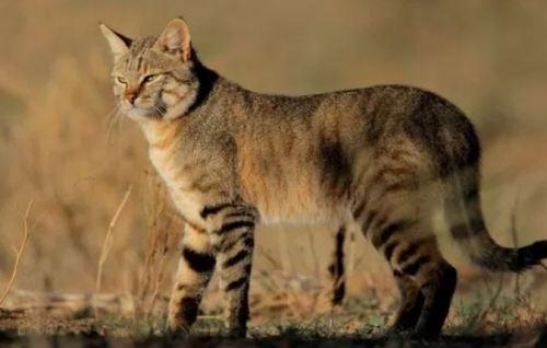 家猫の祖先 リビアヤマネコ
