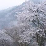 大阪発バイクツーリングで花見!関西おすすめスポット吉野山の桜