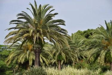 パイナップルみたいな大きな木の名前は?花や実はなるの?