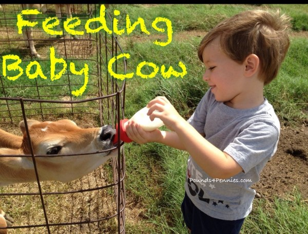 Feeding baby cow on the farm