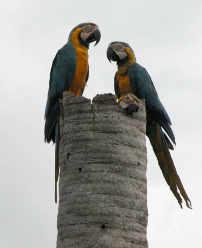 A tagged blue and yellow macaw with her family in a Mauritia flexuosa palm, used by her species for nesting.