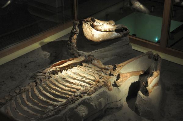 Romeins legerpaard uit Ockenburg (Museon, Den Haag)