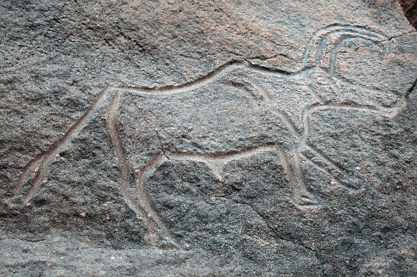 Een langhoorn-buffel (Wadi Mathendous)