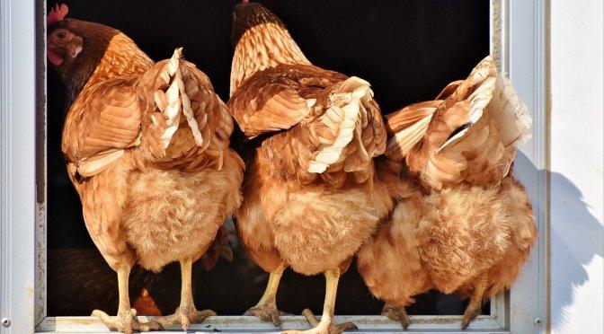 Vente de volailles fermières à La Couarde